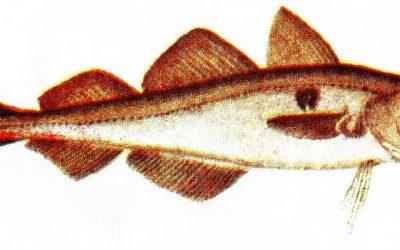 Che pesce è l'eglefino
